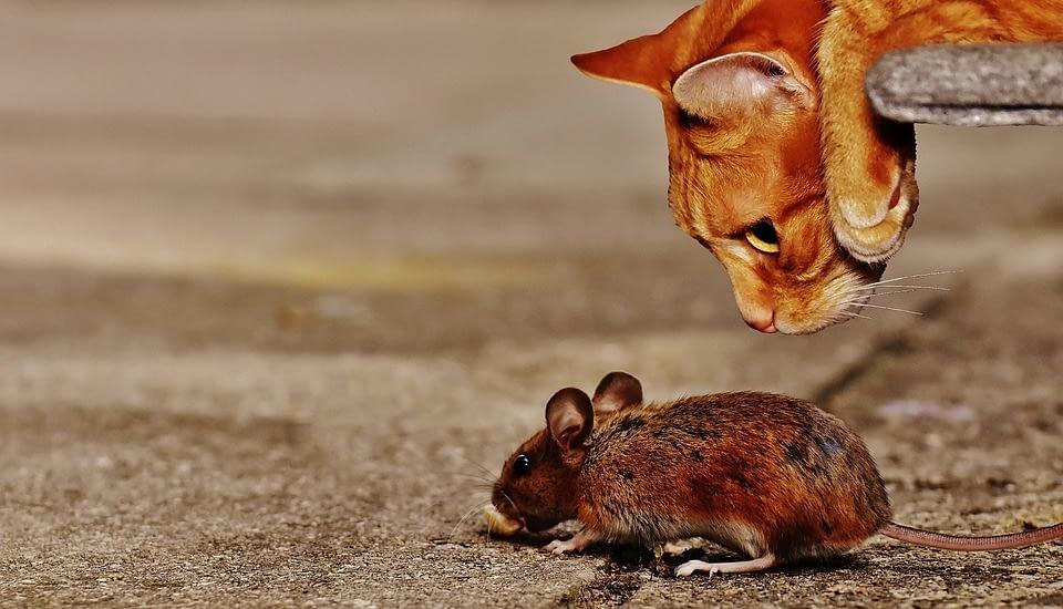 Кошки как средство от мышей