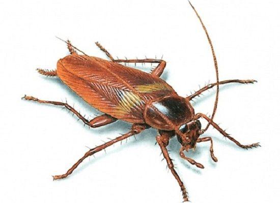Самый эффективный и простой метод выведения тараканов