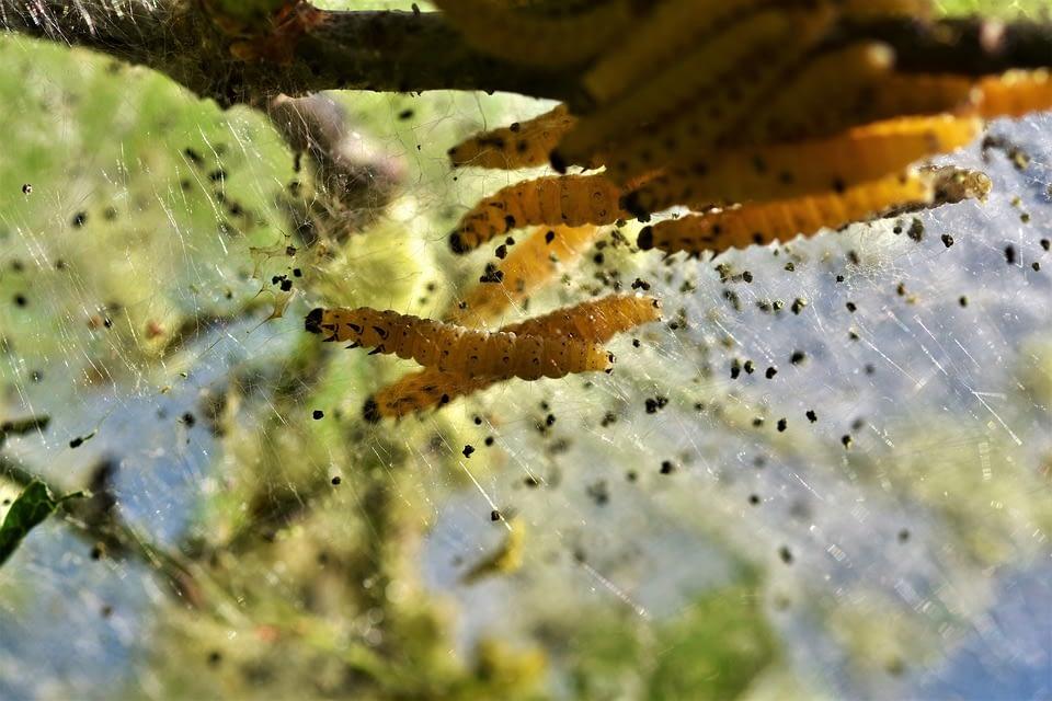 Личинка одной из разновидностей моли